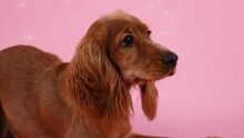 English Cocker Spaniel Lies And Licks Its Lips In The Studio On A Pink Background. Soap Bubbles Fly Around The Pet. Slow Motion. Close Up.