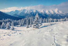 Bright Winter Scene Of Mountain Valley. Fir Trees Covered By Fresh Snow In Carpathian Mountains. Sunny Winter View With Highest Summit In Ukraine - Hoverla. Landscape Photography..