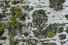 Ash Gray Bark Of Populus Alba With Bright Yellow And Green Lichen And Moss