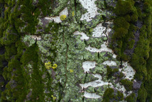 Lime Yellow And Mint Green Lichen  And Moss On Bark Of Populus Alba