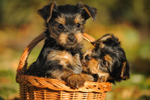 Yorkshire Terrier Puppy 7 Weeks Plays In The Garden ..Yorkshire