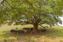 Gado Leiteiro Holandês Debaixo De Sombra De árvore Em Pequena Propriedade Rural De Guarani, Estado De Minas Gerais, Brasil