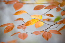 Small Beech Branches With Yellow Autumn Leaves And Very Bright Light Grey Background