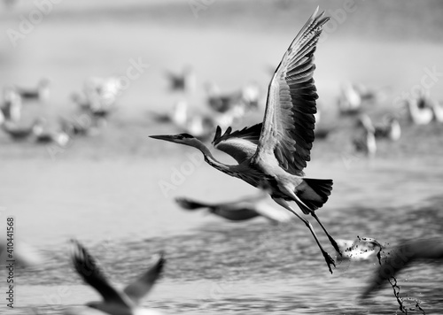 Canvas Print Grey Heron takeoff at Tubli bay, Bahrain