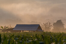 Cottage Among The Corn Fields During Foggy Morning At Mae Sariang District Mae Hong Son Province Thailand.