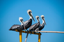 Close-up Of A Group Of Gray Pelicans Resting Balanced On A Wooden Pole Of A Boat In Mexico. In The Background The Cloudless Blue Sky.