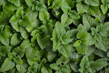 Melissa Plant. Lemon Balm In The Garden. Countryside Nature. Organic Agriculture. Melissa Foliage In The Wild Nature. Herb Tea Flavor. Village Yard Herbs.