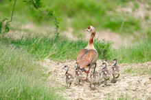 Mother Egyptian Goose And Her Ducklings Waddling Along In Nature