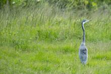 Grey Heron Amongst The Reeds Alongside The River