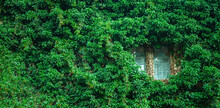 View Of A Closed Window And Of A Wall Covered With Green Ivy. Horizontal Image.
