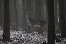 Deer In Forest Dama Dama