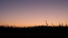 Silhouette Of Reed Plants Against Pink Summer Sunset Sky