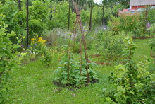 Bean Teepee In A Green Permaculture Garden