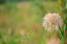 Flower Similar To A Dandelion Tragopogon Tragop Gon D Bius, Meadow Salsify, Showy Goat's Beard Or Meadow Goat's Beard. Tragopogon Pratensis.