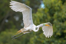 Garça-branca-grande (Ardea Alba) Voando