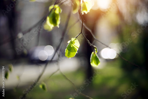 Foto Spring blurred background with green escapes on linden bush branches