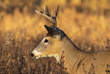 Determined Whitetail Deer Buck Looks For Does During The Rutting Season In The Grasslands Region Of Alberta