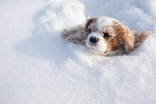 Dog Cavalier King Charles Spaniel Covered With Snow Moving In Winter On Snow-covered Field. Muzzle Of Animal Stuck In Snowdrift. Close-up Photo, Copy Space