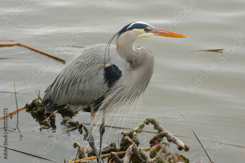 Great Blue Heron at marshes edge. Wallpaper Mural