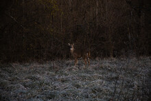 Whitetail Doe In A Field On A Frosty Morning