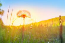 Dandelion In A Field At Orange Sunset Freedom.