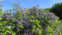 Large Colorful Display Of Blue Bougainvillea Flowers Against Blue Autumn Sky