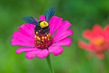 A Beetle On The Beautiful Pink Zinnia Flower With Blurred Background