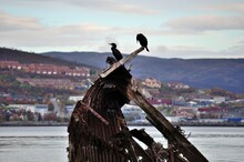 Big Black Cormorant Birds Sitting On A Wooden Shipwreck In Fjord