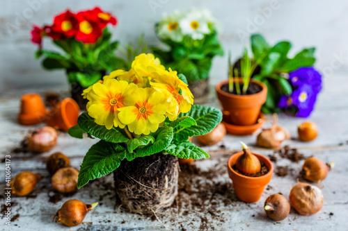 Slika na platnu Spring colored primroses flowers ready for planting.