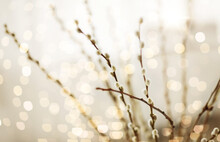 Flora, Plants And Easter Concept - Close Up Of Pussy Willow Branches Over Bokeh Lights
