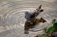 Seagull Diving For Food In Pond