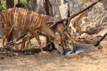 Nyala Females Drinking