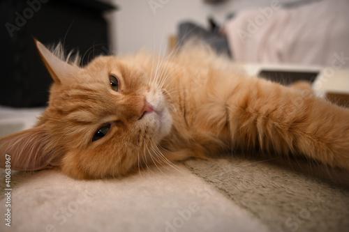 カーペットでくつろぐ猫(マンチカン) Fototapet