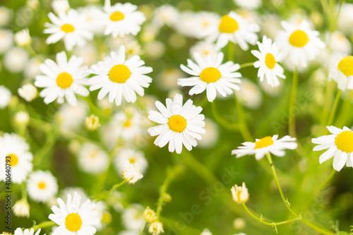 Fényképezés Chamomile flower field