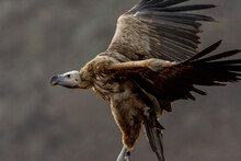 The Griffon Vulture Close Up In Flight(Gyps Fulvus) Scavengers In Africa And Middle East.