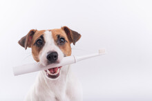 Jack Russell Terrier Dog Holds An Electric Toothbrush In His Mouth On A White Background. Oral Hygiene Concept In Animals. Copy Space