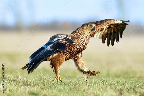 Aigle impérial se posant. Aquila heliaca. Autriche . Espèce vulnérable © brimeux