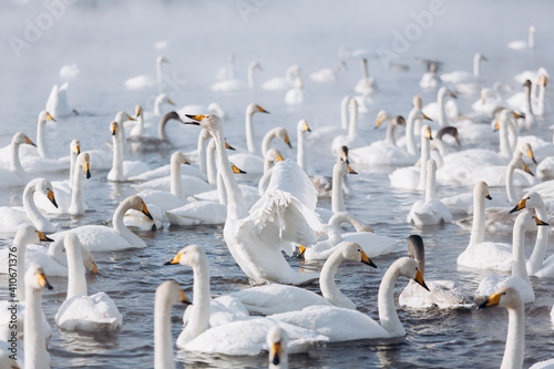 Fotografie, Obraz many white swans on the winter lake with steam