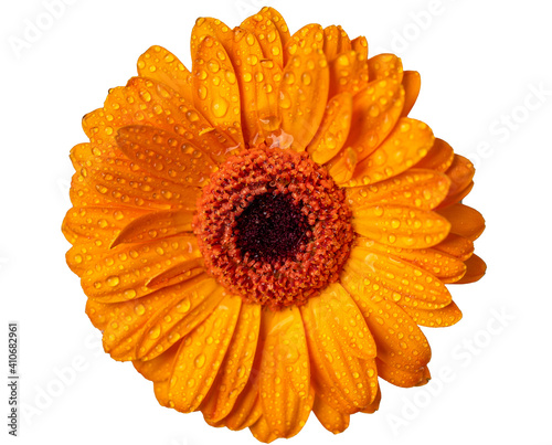 Fényképezés Closeup single orange Gerbera daisy flower isolated on white background with clipping path