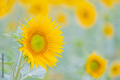 Obraz sunflower in the field - fototapety do salonu