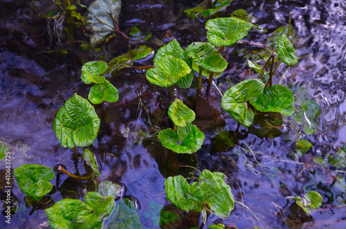 Cuadros en Lienzo Wasserpflanze