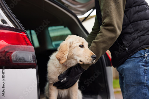 Fototapeta Male Criminal Stealing Or Dognapping Puppy And Putting Them In Car obraz