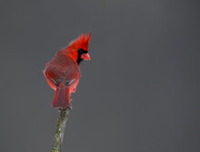 Male Northern Cardinal Portrait In Winter On Gray Background