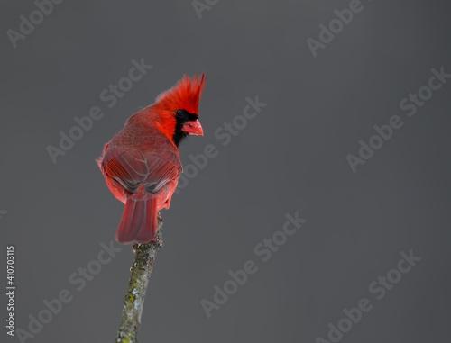 Vászonkép Male Northern Cardinal Portrait in Winter on Gray Background