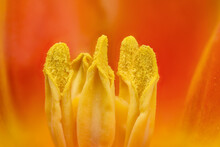 Extreme Close Up Of Stamens Inside A Yellow, Red, Tulip Flower In Bloom