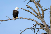 A Bald Eagle Perched In A Tree Against A Blue Sky