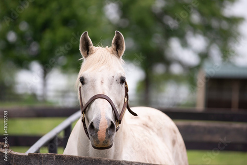 A white horse walking toward the view in a fenced in pasture Fototapet