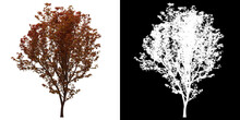 Front View Of Acer Palmatum Sango Tree. PNG With Alpha Channel To Cutout. Made From 3D Model For Compositing.