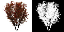 Left View Of Butterfly Japanese Maple Tree. PNG With Alpha Channel To Cutout. Made From 3D Model For Compositing.