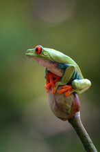 Red-eyed Tree Frog Perched On Lotus Flowers